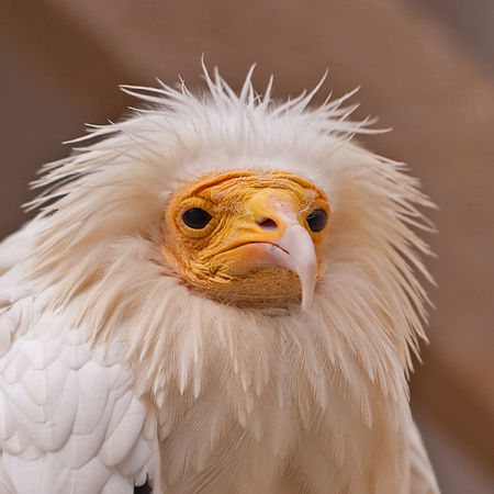 Egyptian Vulture (Neophron percnopterus) (c)