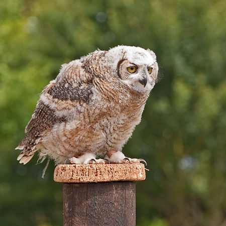 Young Eagle Owl (Bubo Bubo) (c)