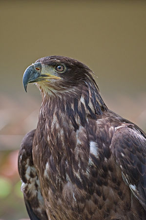 Young male Bald Eagle (Haliaeetus leucocephalus) (c)