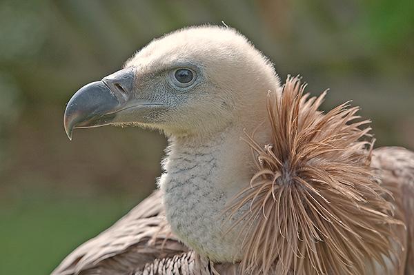 Young Griffon Vulture (Gyps fulvus) (c)