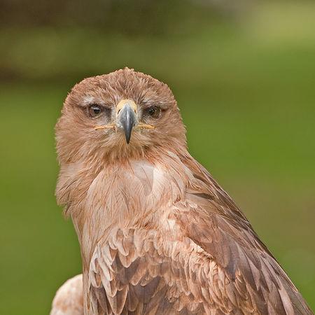 Tawny Eagle (Aquila rapax) (c)