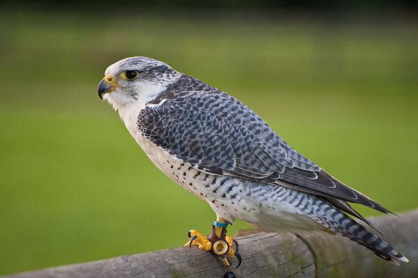 Falcon (Falco)