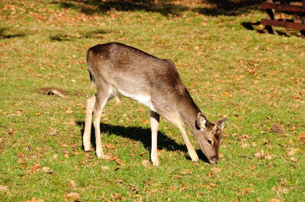 Young Deer grazing