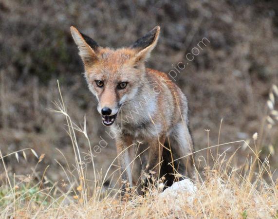 Male Red Fox (Vulpes vulpes)