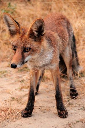 Male Red Fox (Vuples vulpes)
