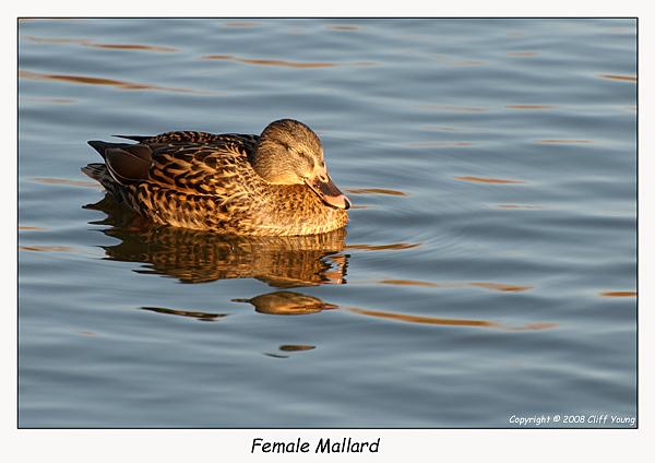 Female Mallard