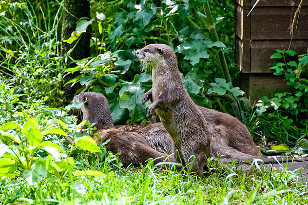 Otters waiting for food
