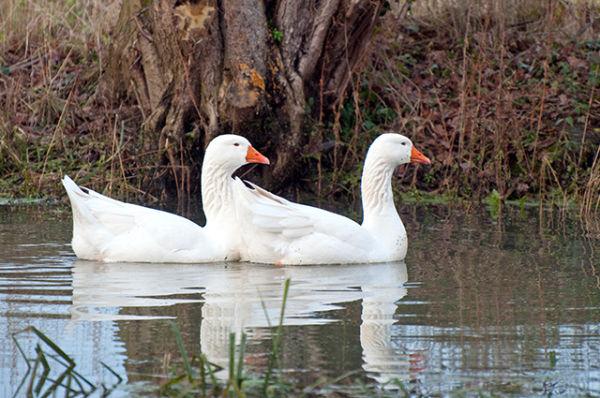 Domestic Greylag Geese