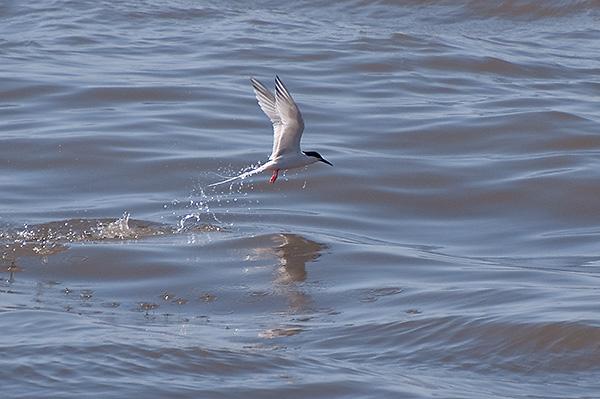 Roseate Tern (Sterna dougallii)