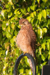 Kestrel preening in the morning sun