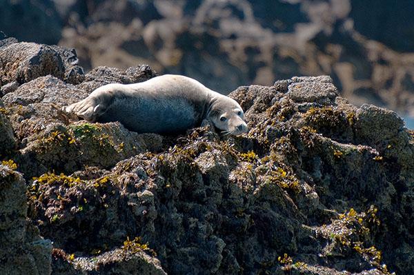 Atlantic grey seal (Halichoerus grypus)
