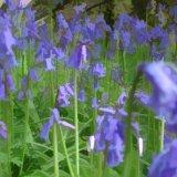 Bluebells---an-inpression