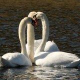 IoS-Swans-8141
