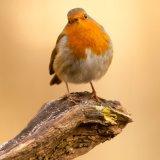 Robin308