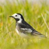 Wagtail-7716