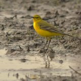 Yellow-wagtail-7865
