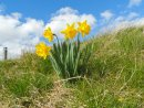 Dafodills, Gillian Weedey