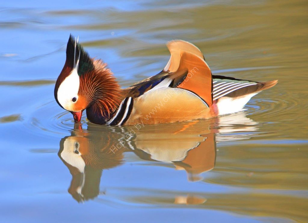 A Reflective moment for this Stunning Mandarin Duck