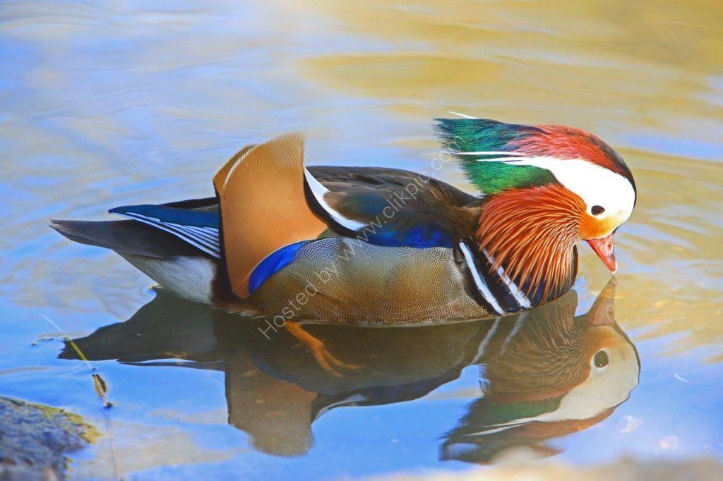 Another Reflective Mandarin Duck