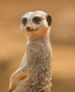 Moody Meerkat