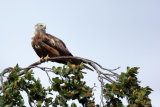 RED KITE PERCHED IN A TREE