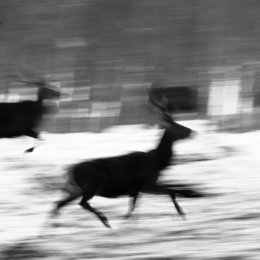 Running Red Deer in the snow
