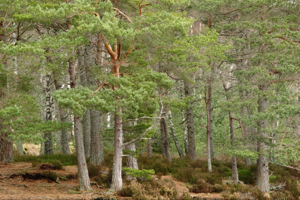 Uath Lochens Cairgorms Mixed Forest