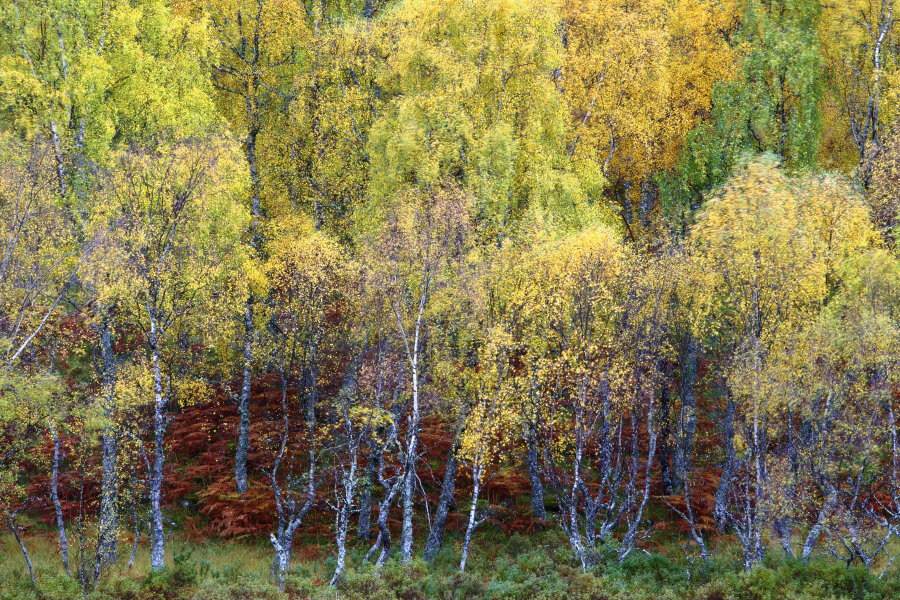 SILVER BIRCH TREES THE SCOTTISH HIGHLANDS CAIRNGORMS NATIONAL PARK AUTUMN