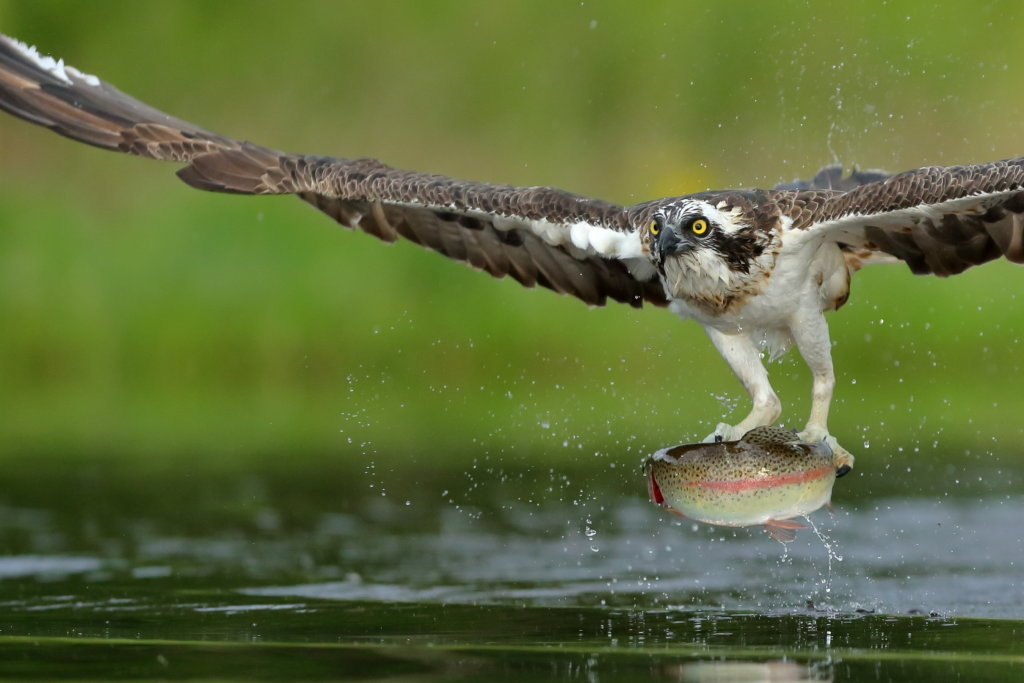 OSPREY IN FLIGHT WITH FISH CAIRNGORMS NATIONAL PARK