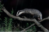 European Badger Meles meles