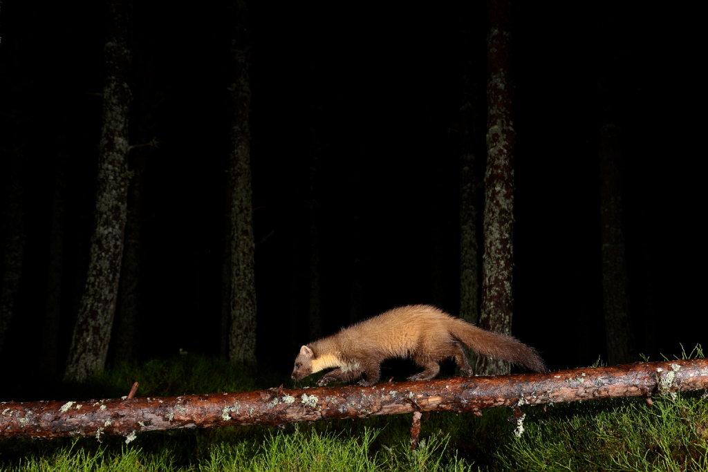 Pine Marten Cairngorms