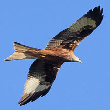 """""""Argaty Red Kites"""" - 2"""
