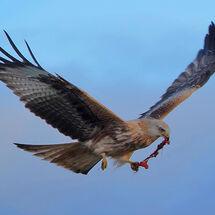 """""""Argaty Red Kites"""" - 1"""