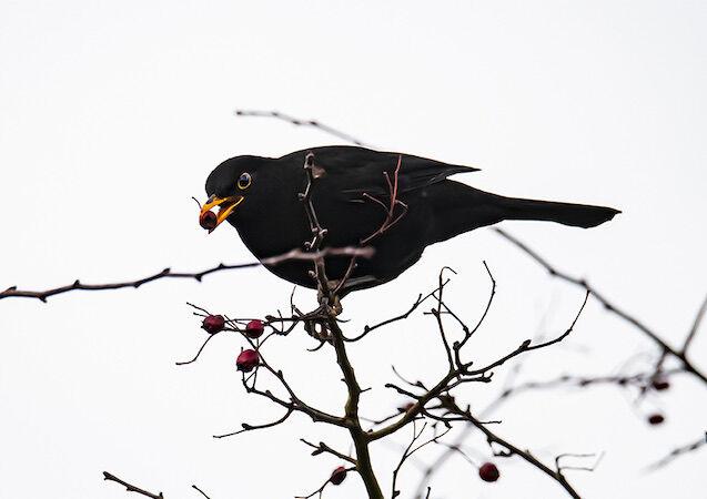 """Blackbird"""