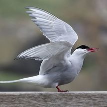 Arctic Tern - Photograph