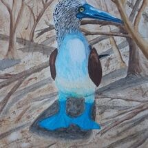 """Blue Footed Boobies"" by Judith Jaggard"