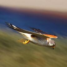 """""""Lucky Hawk"""""""