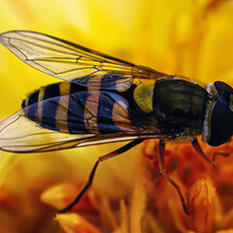 """""""Hoverfly"""""""