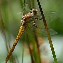 Dragonfly a 72 - Photograph