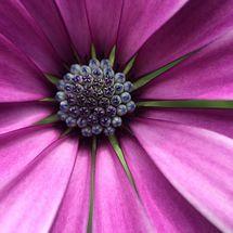 Osteospermum - Photograph (macro)