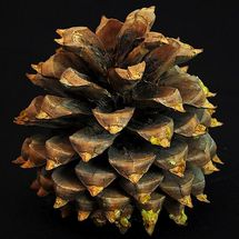 Pine Cone by Bill Cunningham