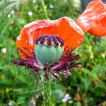 Poppy - Photograph (macro)