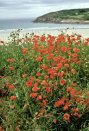 Poppies on the coast, Brittany.