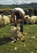 Shep shearing on the Isle of Skye, Scotland.