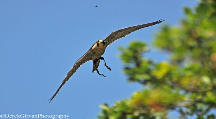Peregrine / Lanner Falcon cross