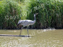 GREY_CROWNED_CRANE