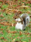 GREY SQUIRREL LUNCH