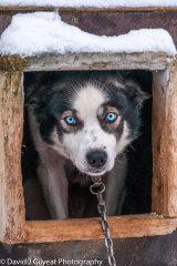 A sled dog