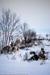 Dog sledding, Northern Norway