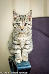 An Afghan cat